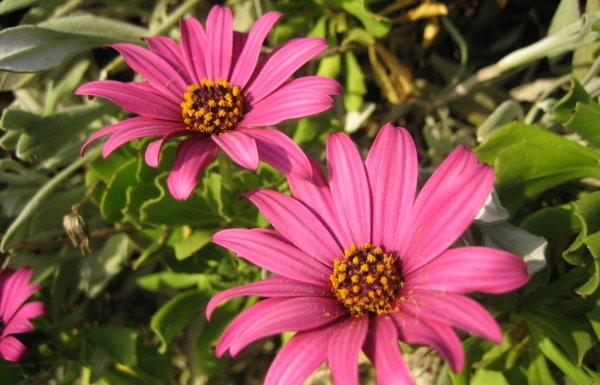 Blumen La Palma: Kapkörbchen