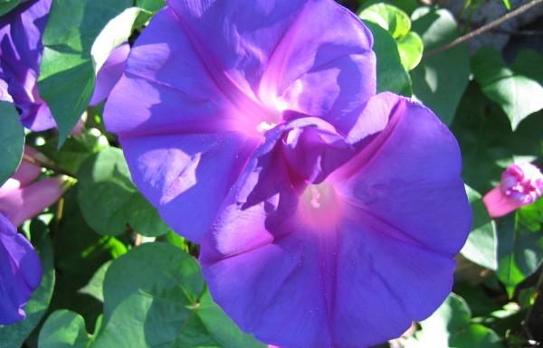 Blumen La Palma: Prunk- oder auch Trichterwinde