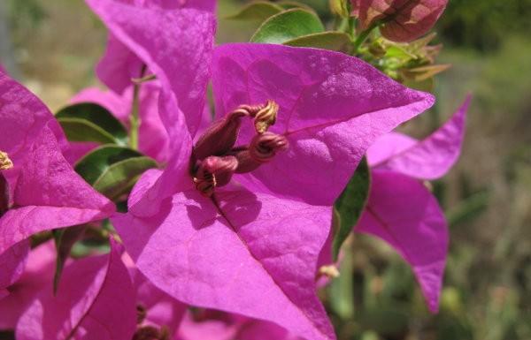 Blumen La Palma: Bougonville