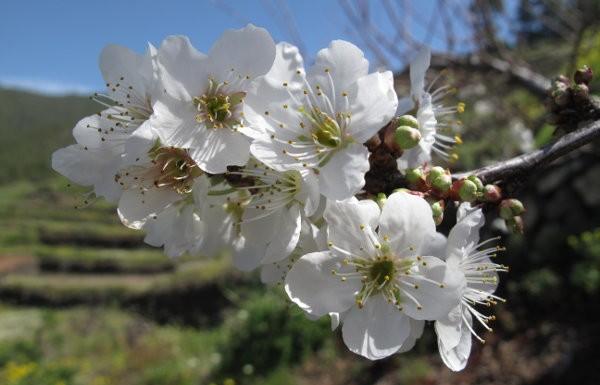 Blumen La Palma: Mandel